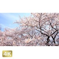 1032022 ■ 桜 増上寺