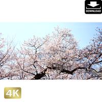 2032020 ■ 花見 桜