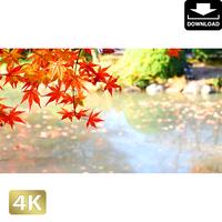 2043006 ■ 京都 東寺の紅葉
