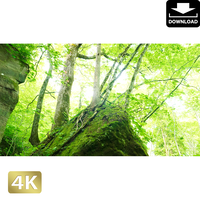 2035104 ■ 奥入瀬渓流 岩と木