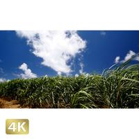 1025044 ■ 波照間島 サトウキビ畑