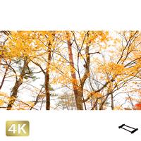 1016002 ■ 山中湖 紅葉
