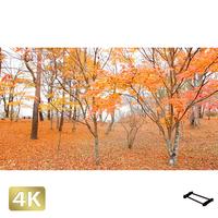 1016012 ■ 山中湖 紅葉