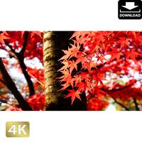 2043015 ■ 京都 東寺の紅葉