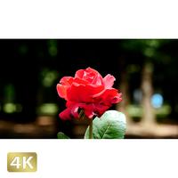 1024005 ■ 花畑 赤い薔薇
