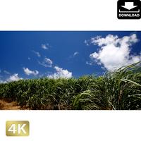 2025045 ■ 波照間島 サトウキビ畑