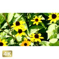 1024018 ■ 花畑 カタバミ