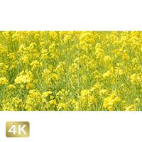 1020005 ■ 花畑 菜の花