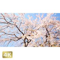 1032006 ■ 桜 増上寺
