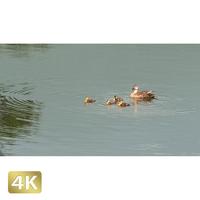 1009004 ■ 長野・群馬 鴨