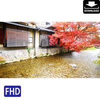 4043101 ■ 京都 紅葉 アオサギ
