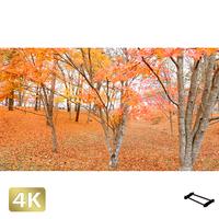 1016015 ■ 山中湖 紅葉