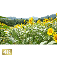 1009009 ■ 長野・群馬 ヒマワリ