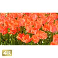 1020003 ■ 花畑 チューリップ
