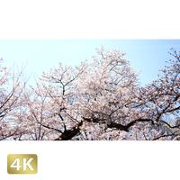 1032020 ■ 桜 増上寺
