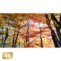 1015009 ■ 富士山 山中湖 紅葉