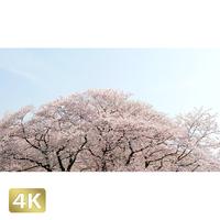 1020024 ■ 桜