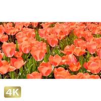 1020007 ■ 花畑 チューリップ
