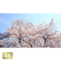 1032019 ■ 桜 増上寺
