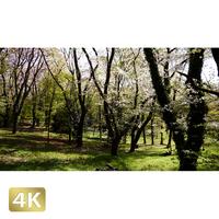 1032027 ■ 桜 代々木