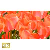 1020002 ■ 花畑 チューリップ