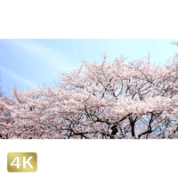 1032021 ■ 桜 増上寺