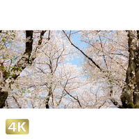 1020019 ■ 桜
