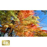 1015012 ■ 富士山 山中湖 紅葉