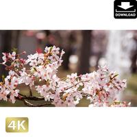 2020025 ■ 花見 桜