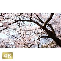 1032017 ■ 桜 増上寺