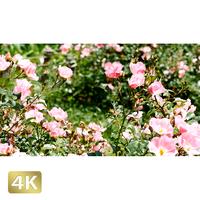 1024016 ■ 花畑 ツル薔薇