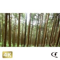1037004 ■ 御岳山 杉林