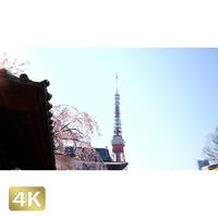 1032009 ■ 桜 増上寺