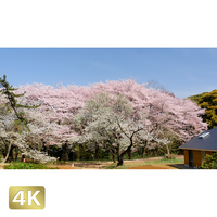 1020018 ■ 桜