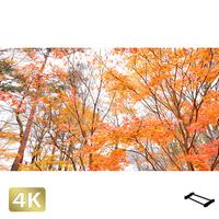 1016010 ■ 山中湖 紅葉