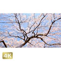 1032008 ■ 桜 増上寺