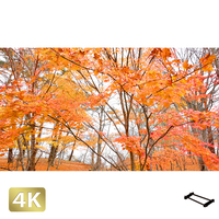 1016011 ■ 山中湖 紅葉
