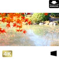 2043007 ■ 京都 東寺の紅葉