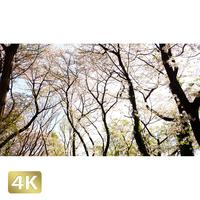 1032028 ■ 桜 代々木