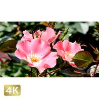 1024006 ■ 花畑 メイディランド