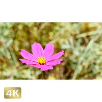 1024026 ■ 花畑 小花