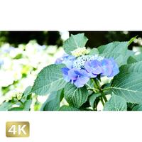 1024001 ■ 花畑 紫陽花
