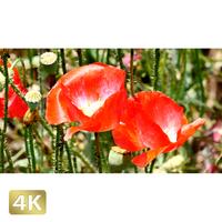 1024025 ■ 花畑 アグロステンマ