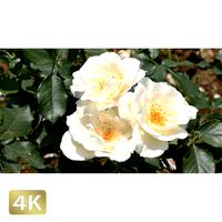 1024008 ■ 花畑 薔薇