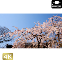 2032005 ■ 花見 桜