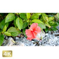 1026005 ■ 黒島 ハイビスカス