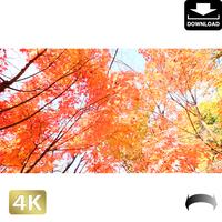 2043044 ■ 京都 東寺の紅葉
