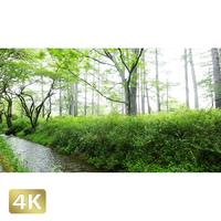 1002027 ■ 奥日光 湯川 石楠花橋