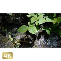 1033048 ■ 柿田川 岩と植物