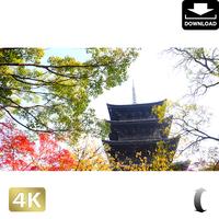 2043023 ■ 京都 東寺の紅葉